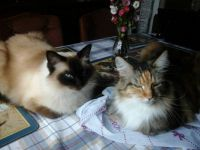 Luka (Ragdoll) and Laycee (Maine Coon) best of friends :)