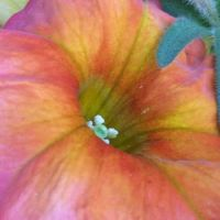 almost abstract-petunia--medium