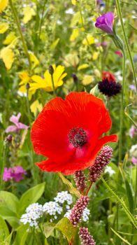Poppy in the flower meadow