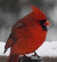 Cardinal: