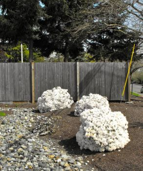 These white azaleas look like giant cream puffs