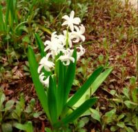 Little White Hyacinth