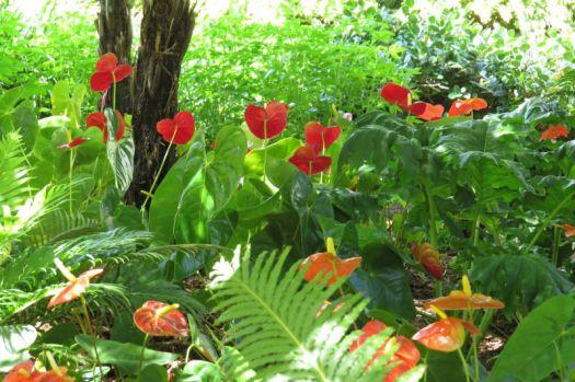 Anthuriums under the Tree Ferns..