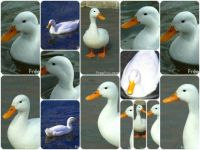 white duck collage