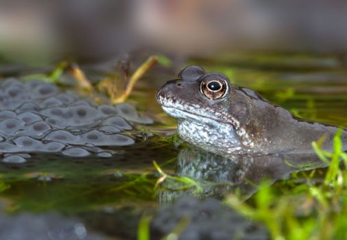 Common Frog and spawn
