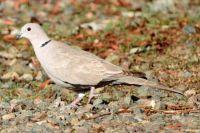 Eurasian Collared Dove, Grand Avenue Bridge, Del Mar, California