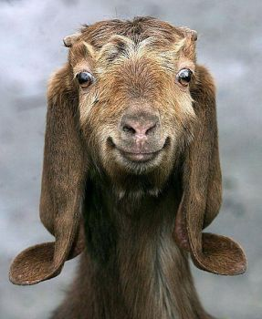 A positively happy goat!!