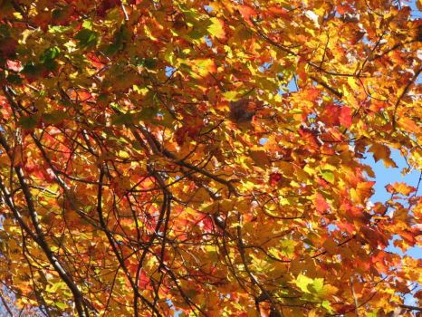 Maple Leaves in Autumn - Ipswich MA