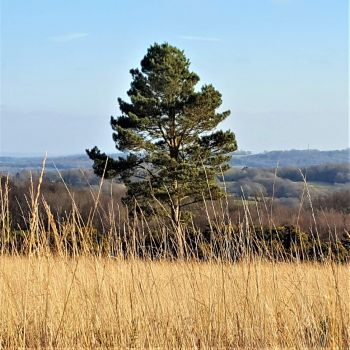Ashdown Forest. Tree View, England.