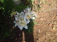 Lilies in full bloom