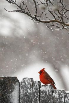 Lonely cardinal