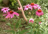 My Coneflowers