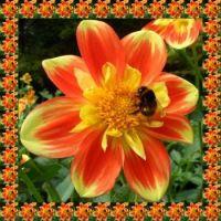 Jiřina se čmelákem...   Dahlia with a bumblebee ...