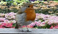 Robin Singing at the local Garden Centre (6)