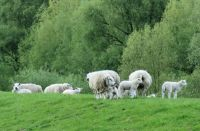 sheep and lambs on the dyke