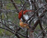 Kissing Cardinals - Jenny Ragland