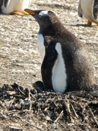 Mama Gentoo penguin and her brand new baby