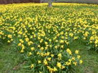 Series springflowers: Daffodils - a whole field of them in a small park