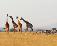 giraffes and zebras - aug 2016 - africa