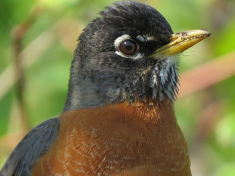 Robin Close-up