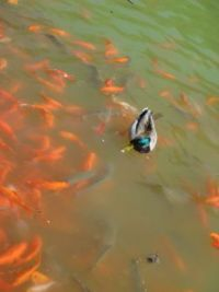 Duck_Goldfish