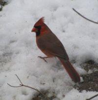 Redbird!