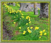 Daffodils on a country farm.
