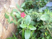 Little red star! Cypress Vine