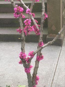 Redbud flowers