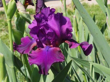 Blue or Purple Iris