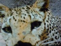 Face of the Snow Leopard