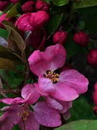 crabapple--more challenging