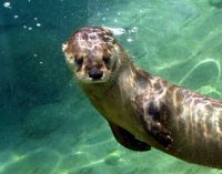 Under_Water_Otter_by_KAKruger (small)