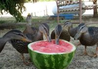Ducks eating watermelon