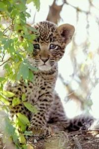 Hi!  Cute little Leopard!