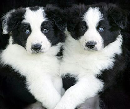 Ziggy Collies
