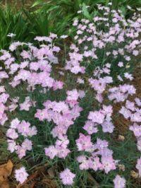 wonderfully fragrant Bath's Pink dianthus