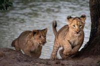 Two lion cubs practice their hunting skills