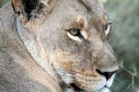 LION IMG_8862