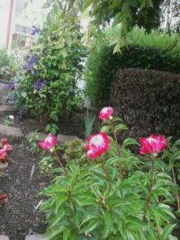 mms_picturepeonies