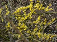 Winterswijk. A forsythia in the middle of a wood...