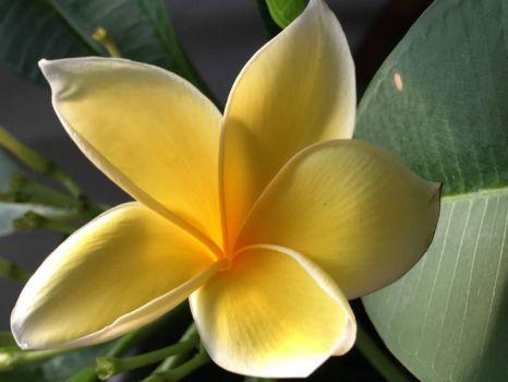 Plumeira: Bali Hai Gold