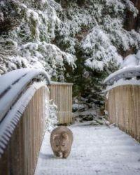 Snowy Wombat!