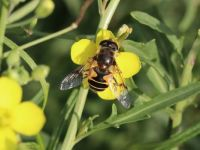 Hoverfly - Eristalis horticola (Bosbijvlieg)