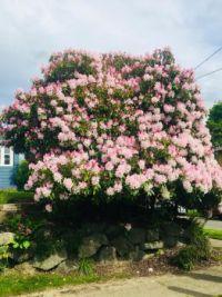 Corner Rhododendron Bush