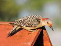 A New Bird: Red-Bellied Woodpecker, female