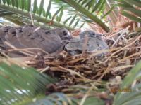 Finally hatched! Our baby doves!!!