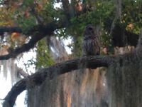 owl blending in Live Oak