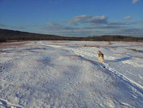 Maine blueberry field in light snow