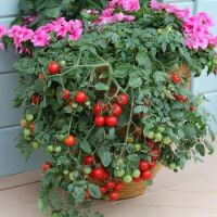 Tomato flower pot bouquet